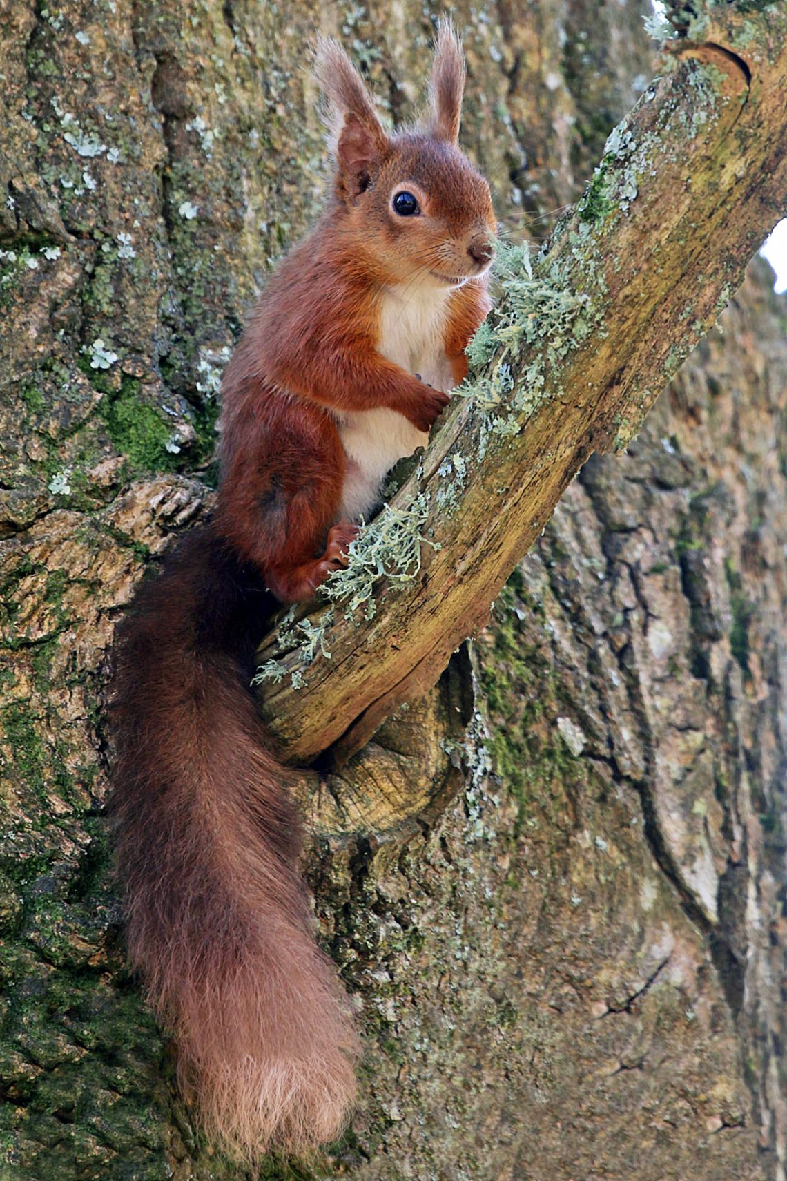 There are approximately, 200 Red Squirrels on Brownsea Island. Photograph © Andrew Downer